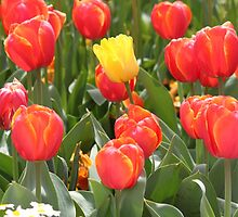 Lone Yellow Tulip of in a Field of Red - Canberra Floriade by RickLionheart