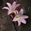 "Belladonna lily aka ""naked ladies"". by Kimberly Palmer"