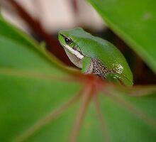 Lilly frog by kurrawinya