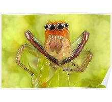 'Orange-faced Jumping Spider (Prostheclina pallida Keyserling)' Poster