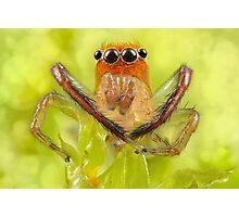 'Orange-faced Jumping Spider (Prostheclina pallida Keyserling)' Photographic Print