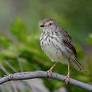 Song Bird by Macky