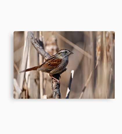 Swamp Sparrow Canvas Print