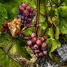The True Vine  ~ Grapes ~ by Charles & Patricia   Harkins ~ Picture Oregon