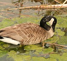 Canada Goose Feeding on Algae by rhamm