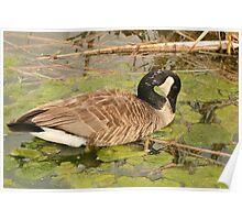 Canada Goose Feeding on Algae Poster
