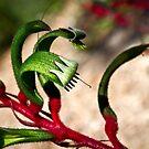 Kangaroo Paw (anigozanthis manglesi) by pennyswork
