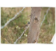 Rufous Collared Sparrow on Barbed Wire Poster