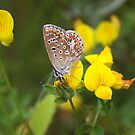 Common Blue on Lotus - Polyommatus icarus by Lepidoptera