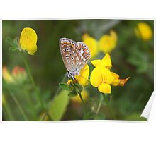 Common Blue on Lotus - Polyommatus icarus Poster