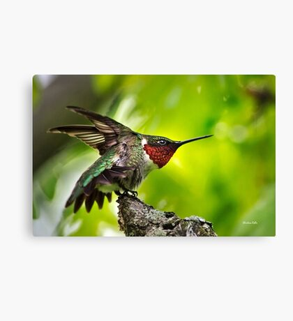 Hummingbird Dominance Canvas Print