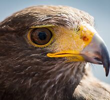 Harris Hawk Closeup by Ralph Goldsmith