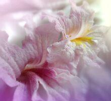 Pink Lapacho flower blooms close up by Tarjita