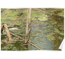 Pair of Green Darner Dragonflies Poster