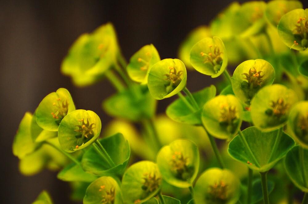 Yellow Euphorbia by photojeanic