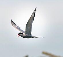 Artic Tern in Flight by Wei Hao Ho