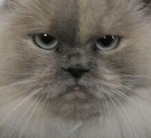 himilayan cat by karencadmanfoto