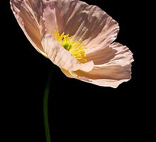 Pink Poppy by LeJour