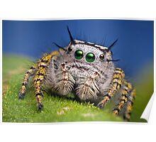 """""""Phidippus mystaceus"""" Jumping Spider Macro Poster"""