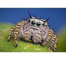 """""""Phidippus mystaceus"""" Jumping Spider Macro Photographic Print"""