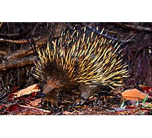 Mr Echidna - What Big Claws You Have Photographic Print