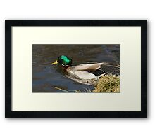 Male Mallard Drake Diving into water Framed Print