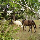 The Horses under Mums Cassia Tree by MardiGCalero