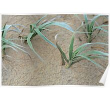 windswept dune grass Poster