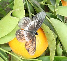 Butterfly on an Orange by rhamm