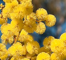 Wattle flower by DavidsArt
