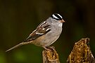 White Crowned Sparrow by Michael Cummings