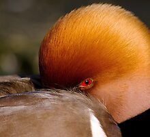 Red Crested Pochard by Mark Ramsell