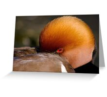 Red Crested Pochard Greeting Card