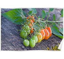 Ombre tomatoes Poster