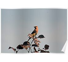 Cedar Waxwing on a Branch Poster