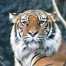 Baginda  Sumatran Tigress by Dorothy Thomson