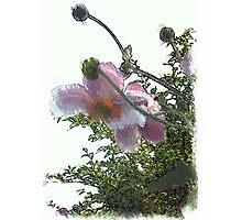 Anemone ...  Photographic Print