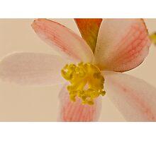 Rex Begonia Blossom Macro Photographic Print
