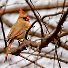 female cardinal 1 2013 by canonman7D