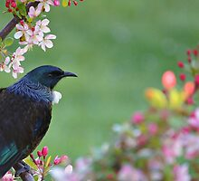 Tui in the Crabapple by Brenda Anderson