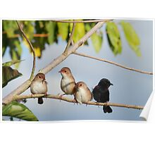 Red Backed Fairy Wrens Poster