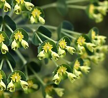 Unique Nature - Mediterranean spurge by Joy Watson