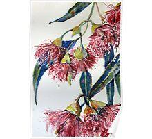 Eucalyptus gum blossoms2 Poster