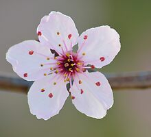 Blossom up Close by Alison Hill