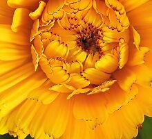 Golden Calendula by SunshineKaren