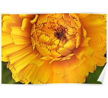 Golden Calendula Poster