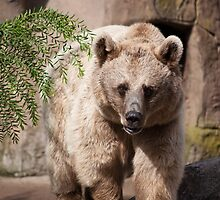 Brown Bear, Royal Melbourne Zoo by Helen Barnett