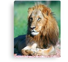 Young lion, South Africa Canvas Print