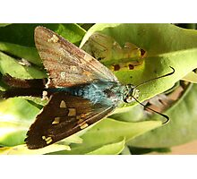 Blue and Brown Moth on a Leaf Photographic Print