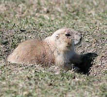 Black Tailed Prairie Dog on Watch by rhamm